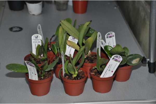 Cattleya labiata var coerulea