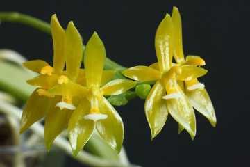 Phalaenopsis cornu-cervi alba