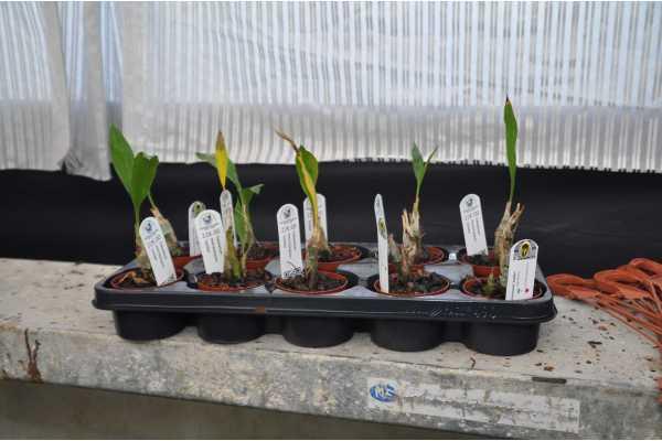 Catasetum macrocarpum 'Jumbo'