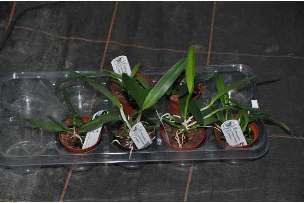 Cattleya gaskelliana coerulea x intermedia amethystina