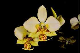 Phalaenopsis stuartiana nobilis