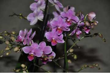 Phalaenopsis pink bouquet