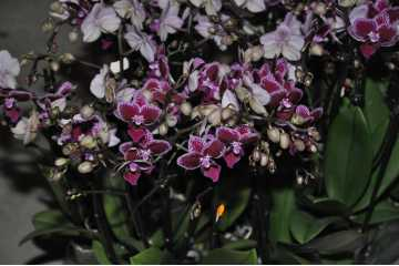 Phalaenopsis dark pink speckled