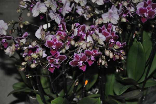 Phalaenopsis dark pink speckled