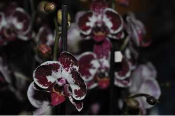 Phalaenopsis garnet and white