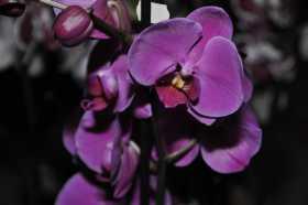 Phalaenopsis pink