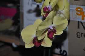 Phalaenopsis yellow red heart