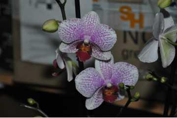 Phalaenopsis pink speckled white