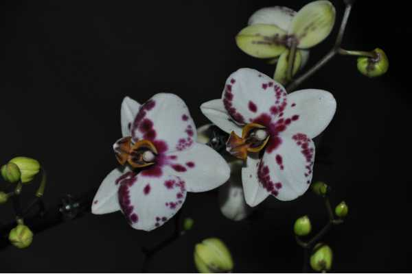 White and red Phalaenopsis pinocchio