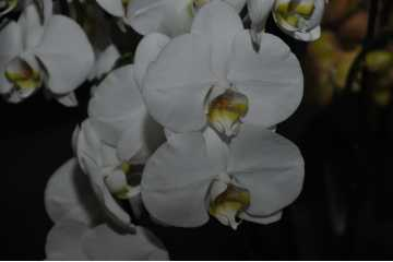 Phalaenopsis white yellow heart
