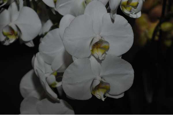 Phalaenopsis blanc coeur jaune