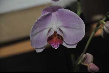 Phalaenopsis pink heart white label dark pink