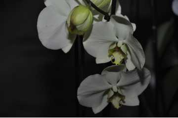 Phalaenopsis pale yellow