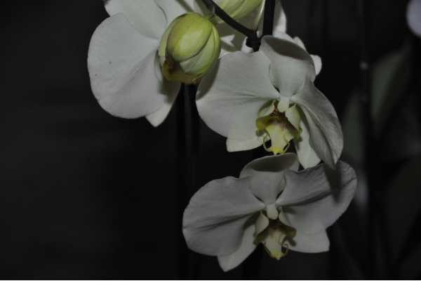 Phalaenopsis jaune pâle