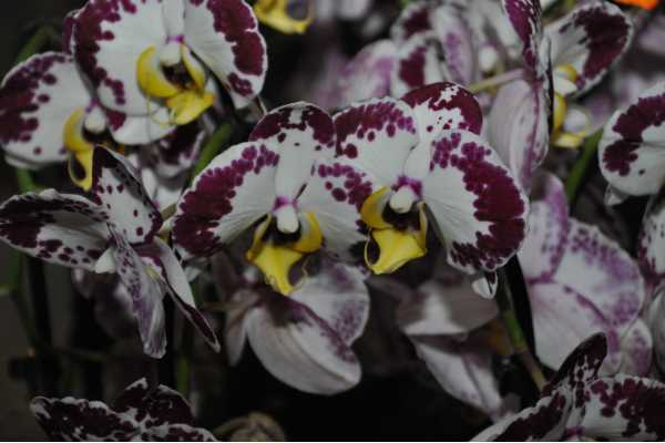 Phalaenopsis Belliscone