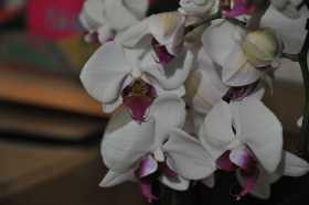 Phalaenopsis blanc coeur rouge
