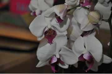 Phalaenopsis white heart red