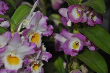 Pink and white dendrobium