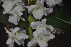 white Dendrobium