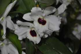 Dendrobium white heart red