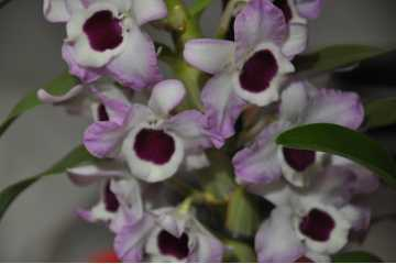 Dendrobium pale pink white heart red