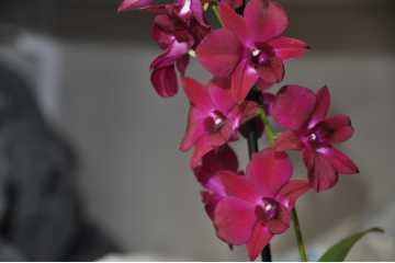 Dendrobium type Phalaenopsis red