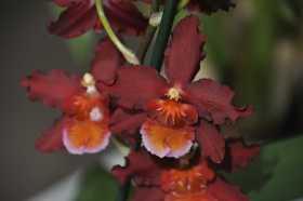 Cambria purple label orange