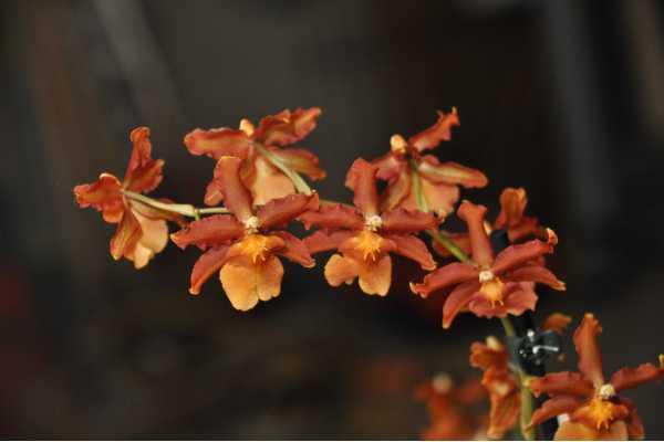 Chestnut orange label Cambria