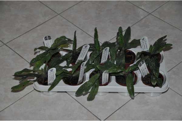 Paphiopedilum annabellchen
