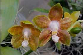 Phalaenopsis venosa
