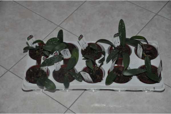 Bulbophyllum patens
