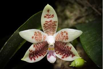 Phalaenopsis inscriptiosinensis
