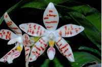 Phalaenopsis zebrina
