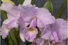 Cattleya trianae var concolor