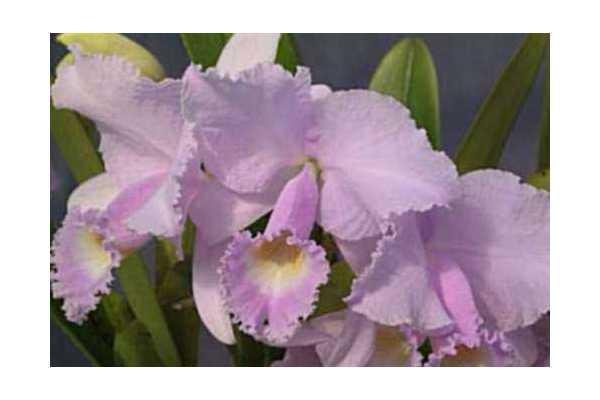 Cattleya trianae var concolor