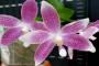 Phalaenopsis speciosa pink