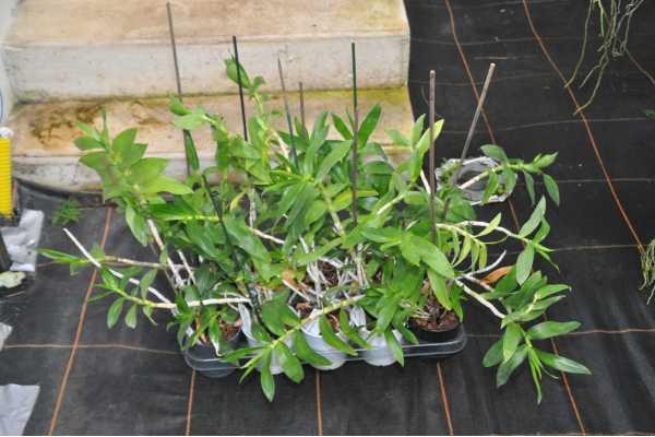 Dendrobium usitae