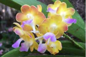 Rhynchoides Bangkok Sunset