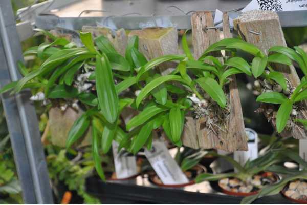 "Dendrobium delacourii ""White"""