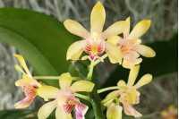 Phalaenopsis deliciosa var hookeriana