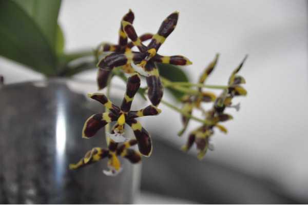 """Phalaenopsis mannii """"black"""""""