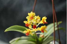 Vandaenopsis Yih-Cheng Amanda