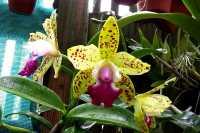 Cattleya Siamense Doll
