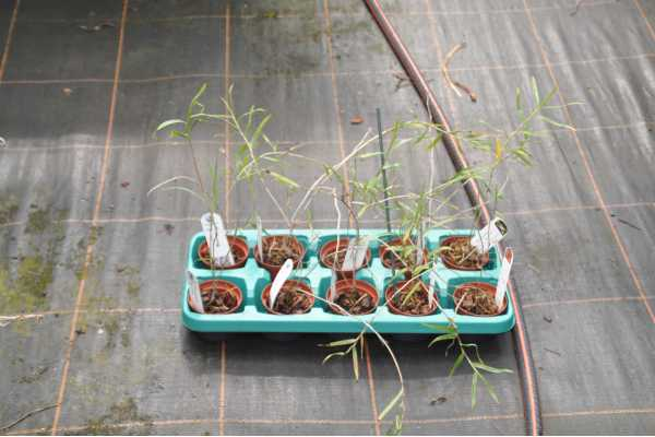 Dendrobium ramosii