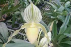 Paphiopedilum philippinense var roebbelenii alba
