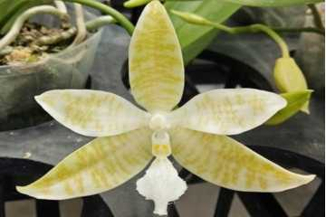 Phalaenopsis hieroglyphica flava