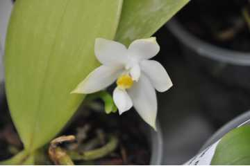 Phalaenopsis violacea alba