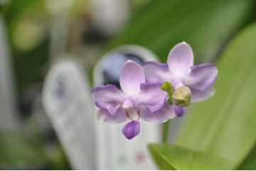 Phalaenopsis Keneth Schubert