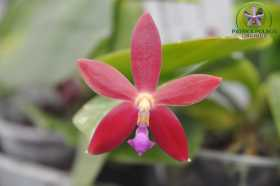 Phalaenopsis valentinii x tetraspis c1
