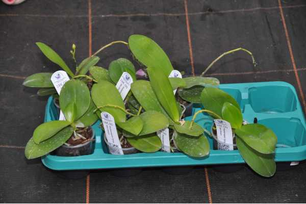 Phalaenopsis Tying Shin Smart
